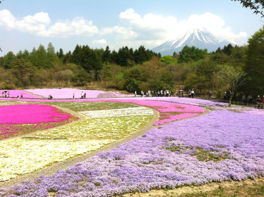 Fuji Shibazakura Festival - flowers blossoming by the feet of Mnt Fuji