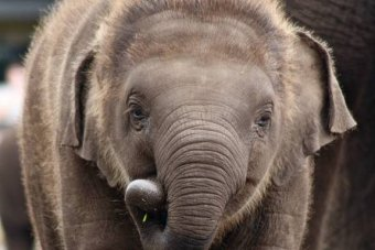 A elephant looks at the camera.