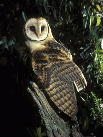 A Tasmanian masked owl sits on a tree stump.
