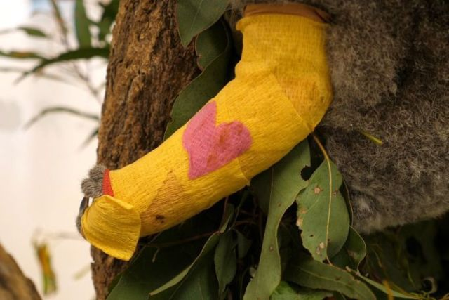 A koala in a tree eating a leaf with a yellow cast on its broken arm