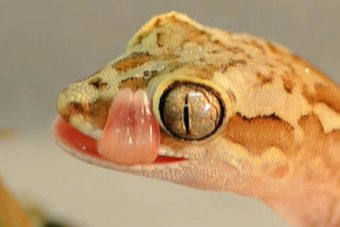A yellow and brown lizard with big eyes licks its lips.