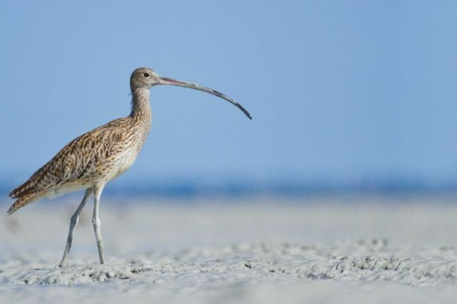 An eastern curlew at Roebuck Bay