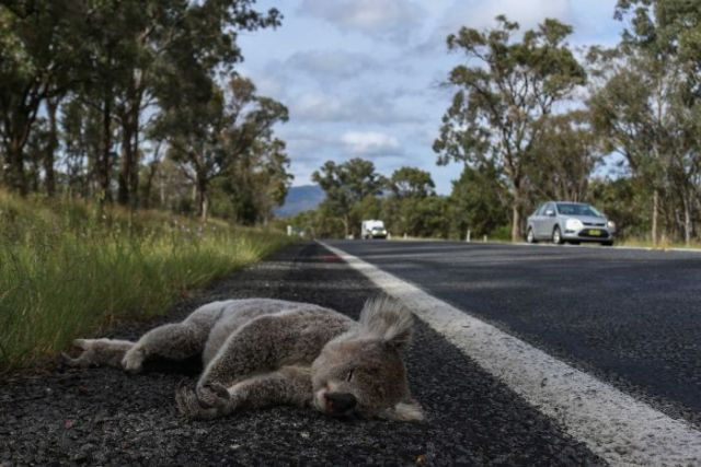 A dead koala lies peacefully on the side of the road after being hit by a car.