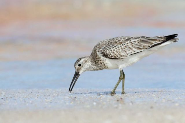 The Great Knot bird pecks at the ground