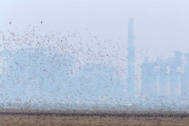 A flock of Grey Plovers fly over a field with a city in the background
