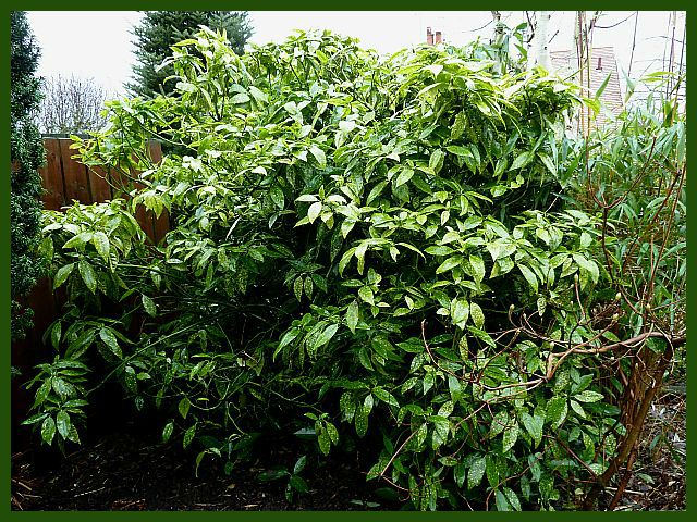 how to take a cutting from a japonica