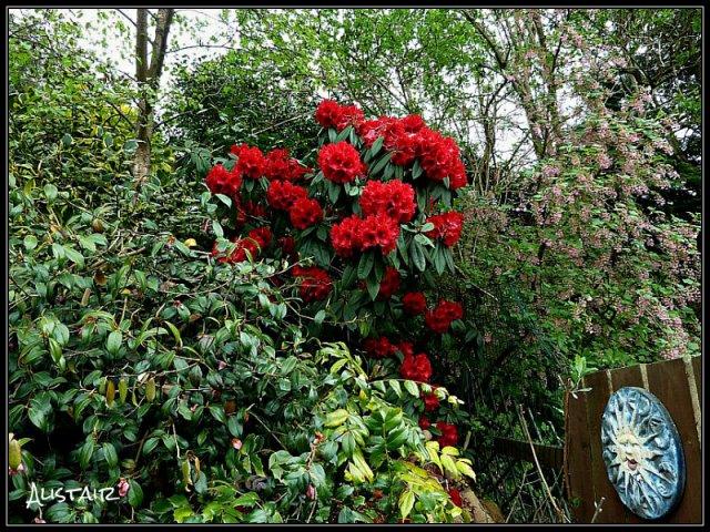 Rhododendron Taurus 5