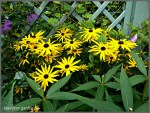 Rudbeckia fulgida early bird gold (1)