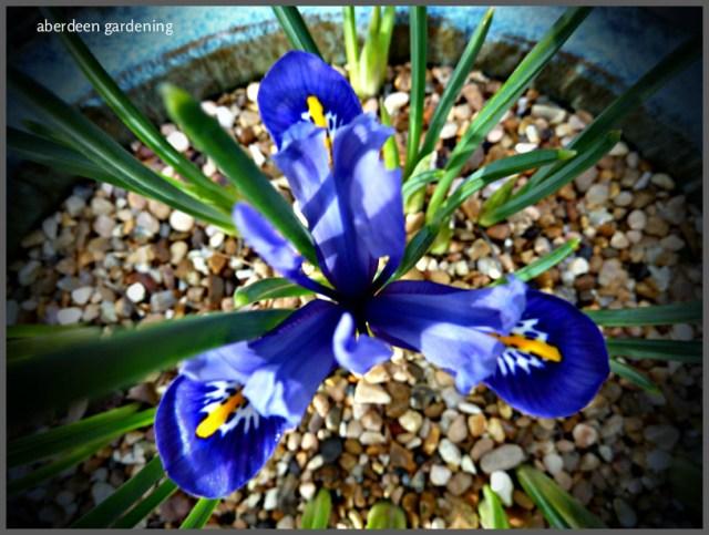 Iris Reticulata Harmony (6)