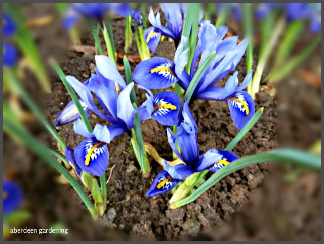 True Winter Bloomers Iris Reticulata Harmony