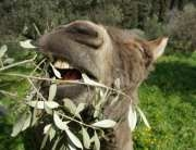 Donkey eating olive leaves