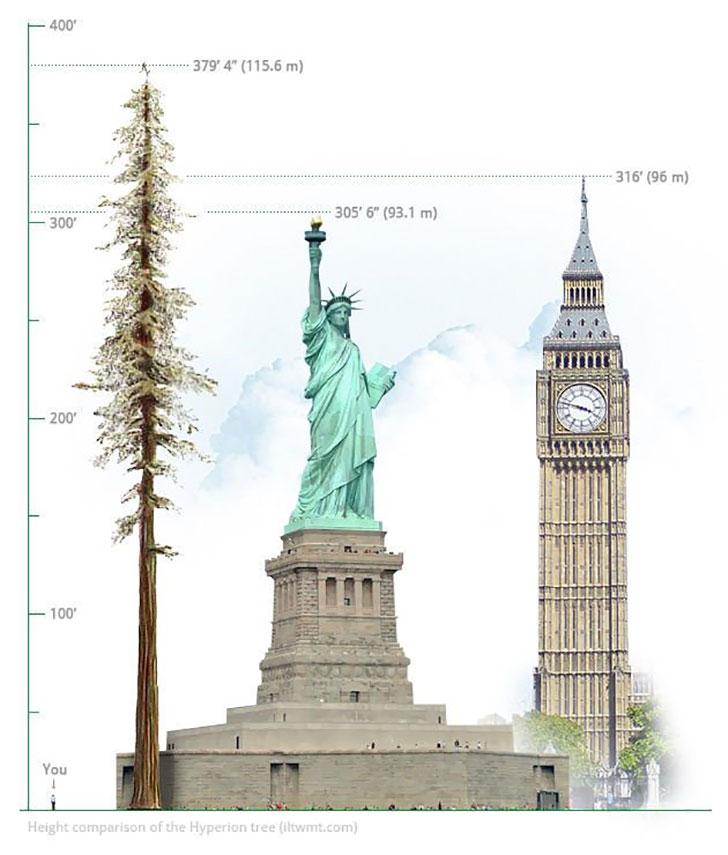 Ecco hyperion l albero pi alto del mondo absurdity is for Statua piu alta del mondo