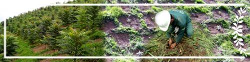 crbst_reflorestamento