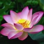 fa_lotus