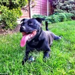 Dilla, Staffie, 8 years old, Male