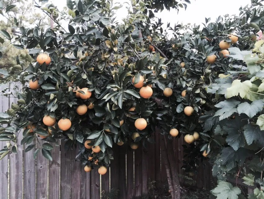 Orange tree going strong. Winter is citrus season.