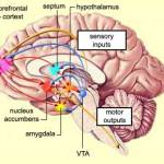 nucleus.accumbens
