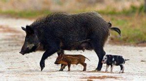 feral-hogs1 nps.gov