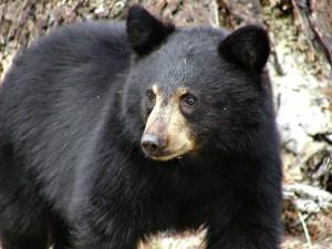 black_bear_mammal