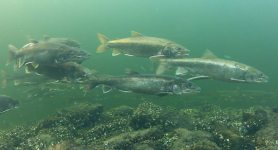 Spawning-Lake-trout