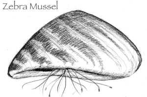 TOS_Zebra_Mussel