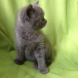 beautiful-bsh-male-kittens-56d1a12bc9ed8