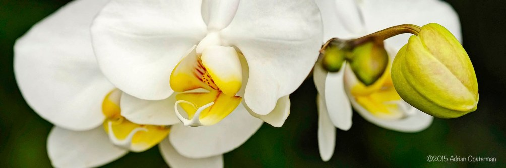close up photo of white orchid with bud on green background