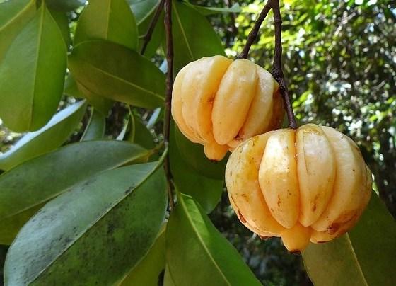 Garcinia Cambogia 78