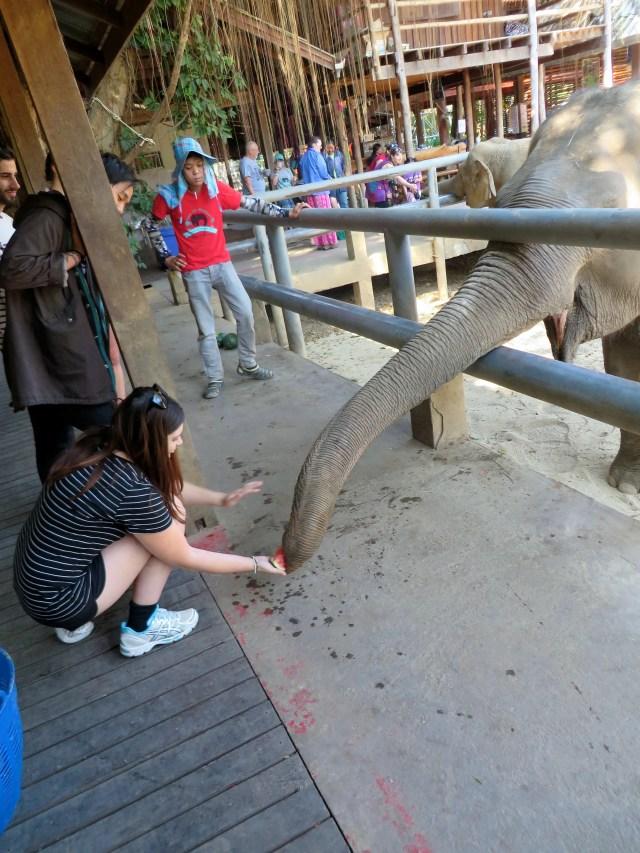 Feeding an Elephant at Elephant Nature Park, Chiang Mai, Thailand
