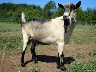 Good Golly!  Great Goat Milk Stuff !