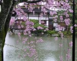 cherry blossoms in Kyoto (c) Alison Blackman www.alisonblackman.info