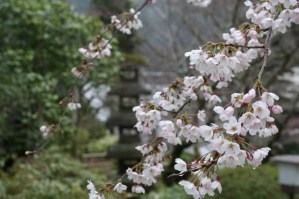 cherry blossoms in Japan (c0 Alison Blackman http:/www./alisonblackman.infoi