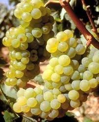 savatino grape