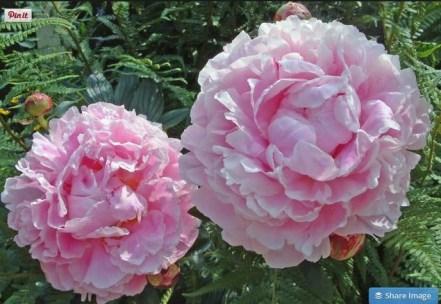 the beautiful peony flower