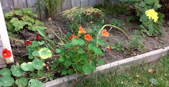 Garden photo of nasturtiums and marigold for painting reference