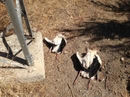 Los cadáveres de dos cigüeñas blancas yacen junto al apoyo de un tendido eléctrico. Foto: SIECE.