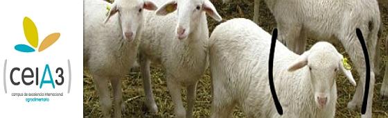 divulga3 ovejas