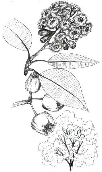 Scarlet Eucalyptus