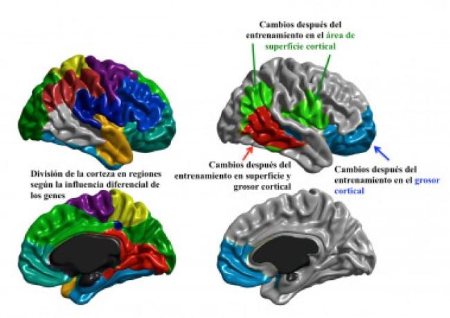 <p>La comparativa reveló los cambios estructurales en el cerebro. / UAM</p>