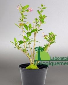 Plant arbuste de goji endémique à l'Himalaya cultiver biologiquement.