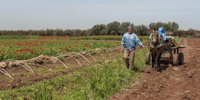 Béni Mellal-Khénifra: Une bonne campagne agricole annoncée