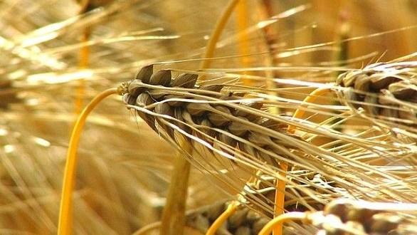 Céréales à Taourirt : Hausse de 18% de la production