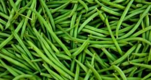 TYLCV sur haricot vert: Choisissez vos variétés pour prévenir la maladie