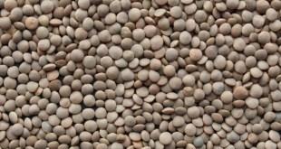 La rouille de la lentille au Maroc