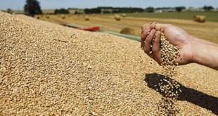Récolte mécanique des céréales au Maroc