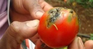 Tuta Absoluta: Essai du programme phytosanitaire
