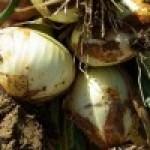 CEBOLLA: lo básico para saber cómo cultivarla en el huerto