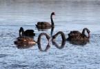 אגם הברבורים השחורים