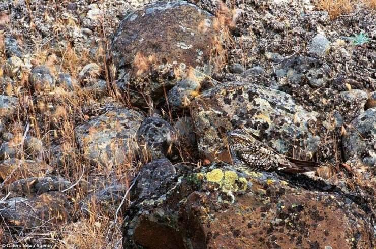 صورة صقر بين الصخور