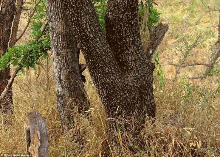 صورة فهد يخفي نفسه خلف النباتات